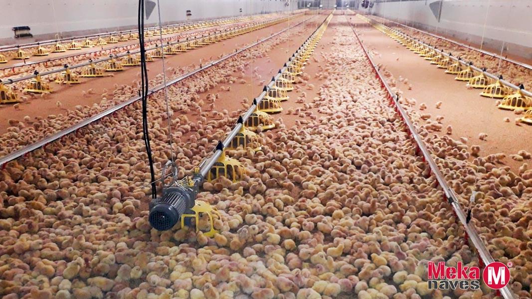 Pollos dentro granja modular